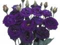 carmen-violet-jpg