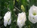 exrosa-white-jpg