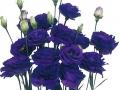 piccorasa-blue-jpg
