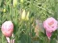 robella-clear-pink-jpg