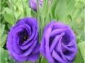 rosina-blue-jpg