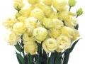 rosina-yellow-jpg