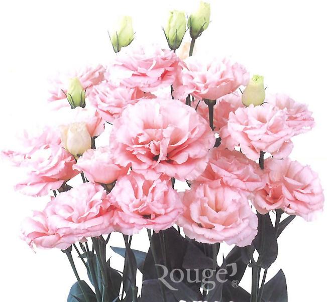 Claris-Pink