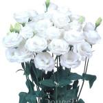 Piccorosa-White