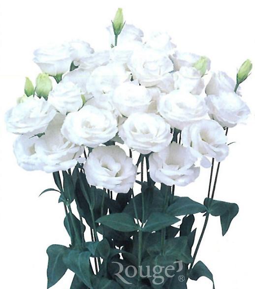Piccorasa-White
