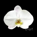 Phalaenopsis. V3
