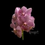 Purple Speckle (2)