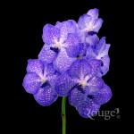 Pakchong Blue (2)