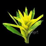 Guzmania Large Yellow